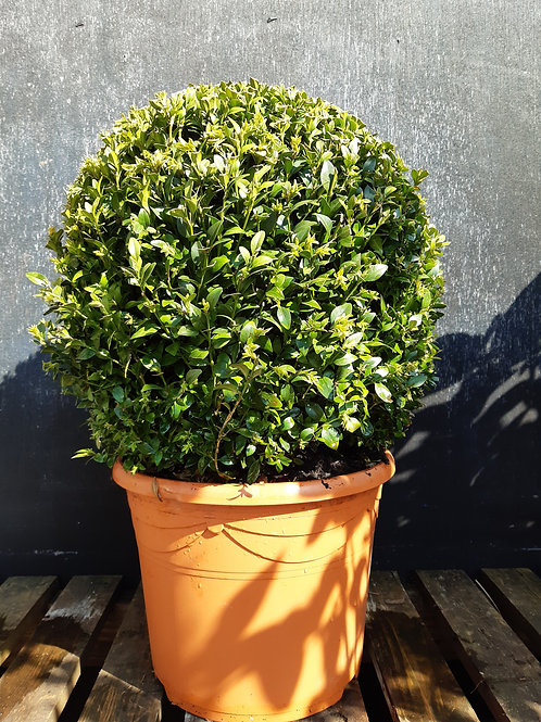 Box topiary ball MEDIUM