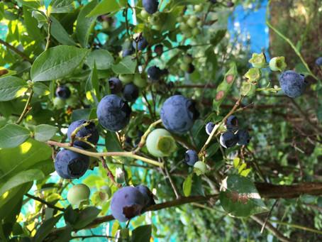 お待たせいたしました!ブルーベリーの収穫が始まりました。