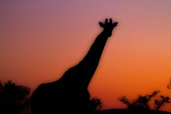 Giraffe-Silouette.jpg