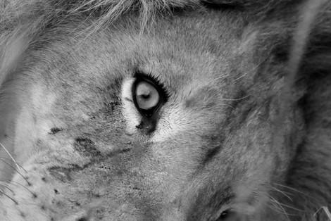 eye of the lion.jpg
