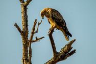 Twarney-Eagle.jpg