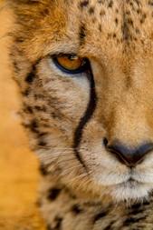 Cheetah eyes.jpg