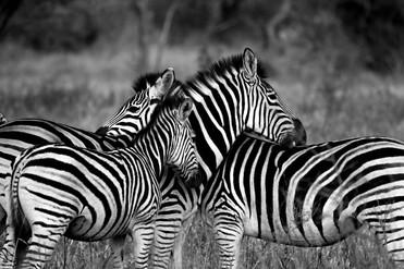 Zebras strips.jpg