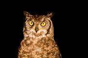 Owl eyes.jpg