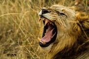 Lion jaws.jpg
