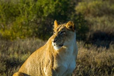 Lion LR.jpg