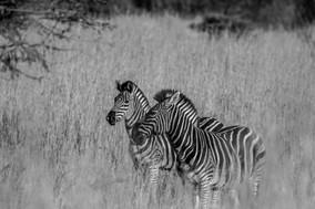 Zebra among the grass.jpg
