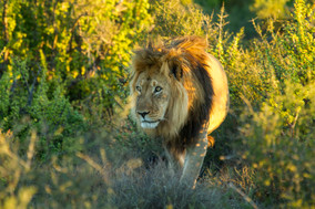 King of the JungleLR.jpg
