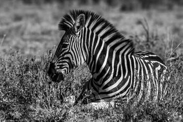 Zebra down.jpg