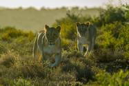Lionesses-backlitLR.jpg