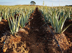 aloe fields 3.jpg