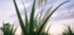 Background aloe plant