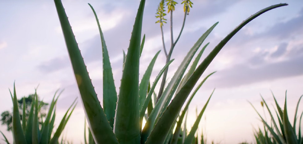 Background aloe plant
