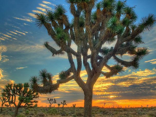 joshua-trees-getty-sun-0516-xl.jpg