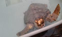 tartaruga nel centro WWF