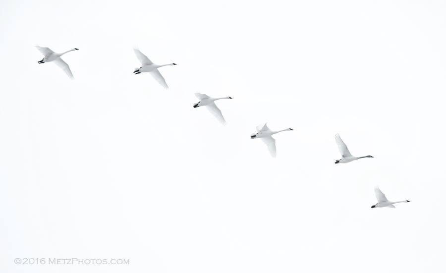 Swans in Minnesota Sky