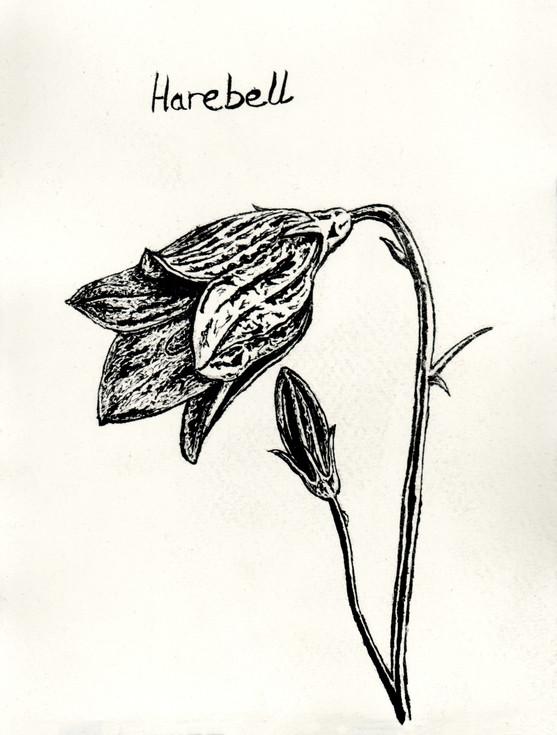 Harebell