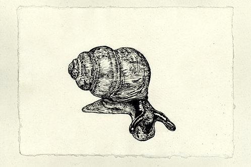 Desmoulin's Whorl Snail