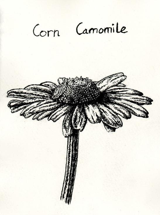 Corn camomile