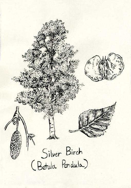 Birch tree