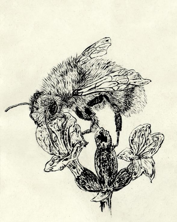 cullum's bumblebee
