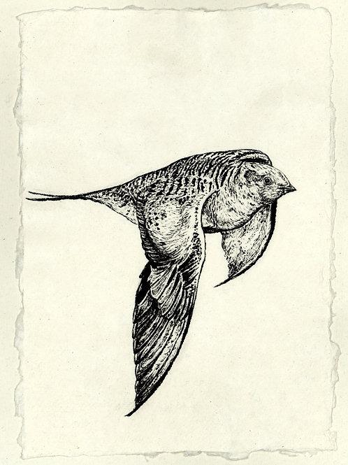 Pallas' Sandgrouse