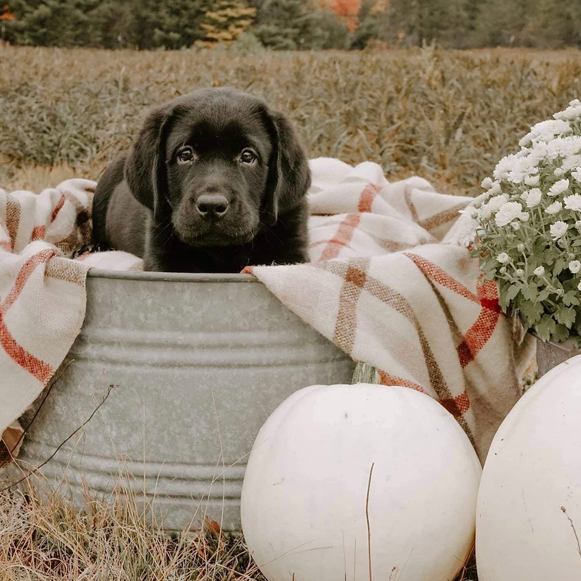 Puppy Socialization, Husbandry and Initial Training for Pups aged 12-16weeks
