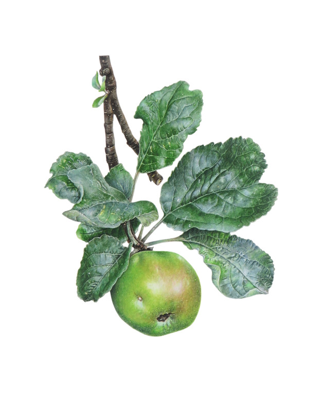 Martins Seedling Apple