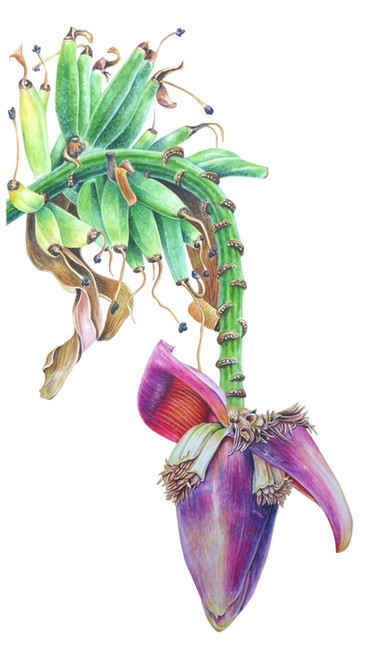 Banana 'Musa_acuminata'