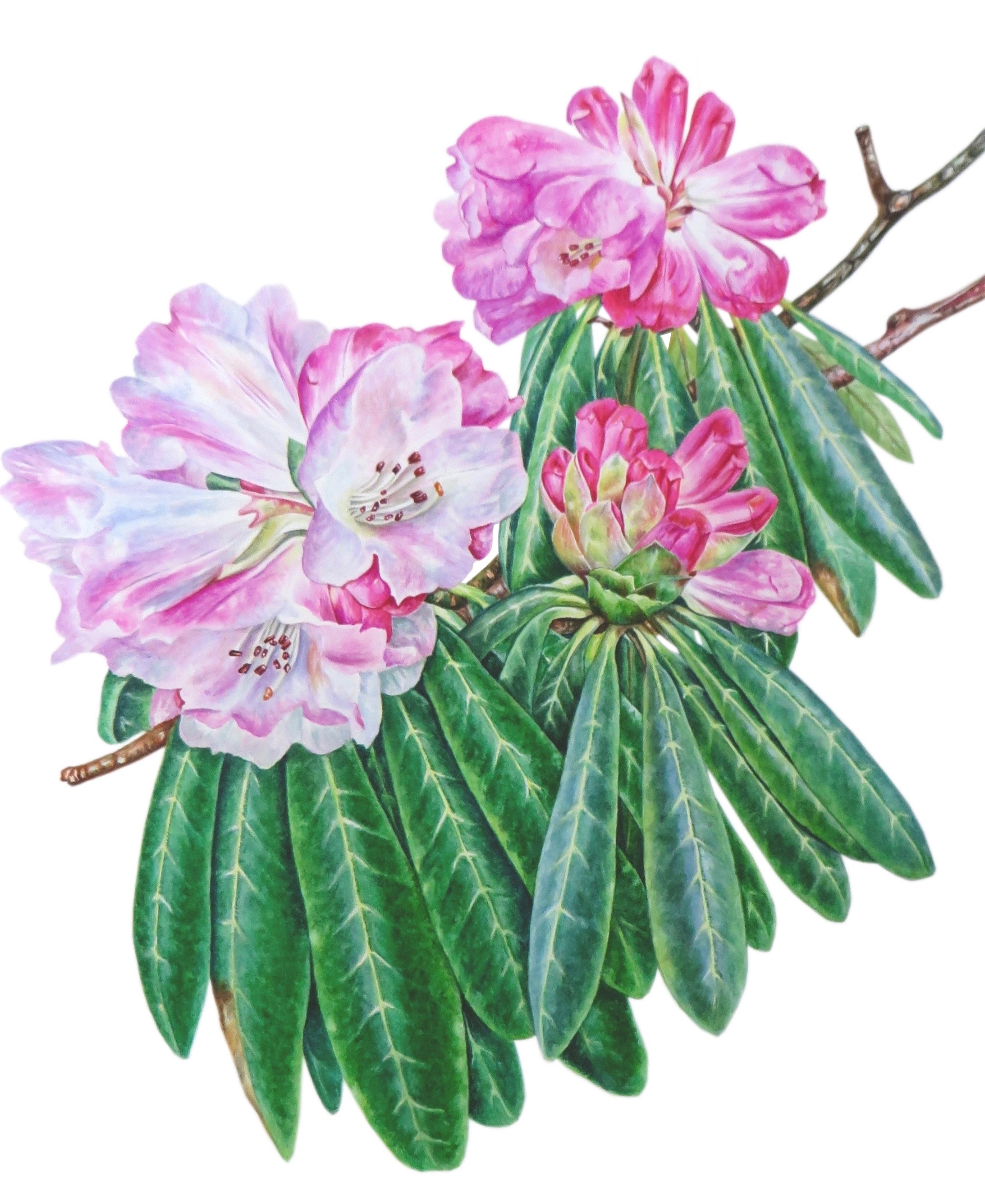 Rhododendron 'Calophytum' (1)