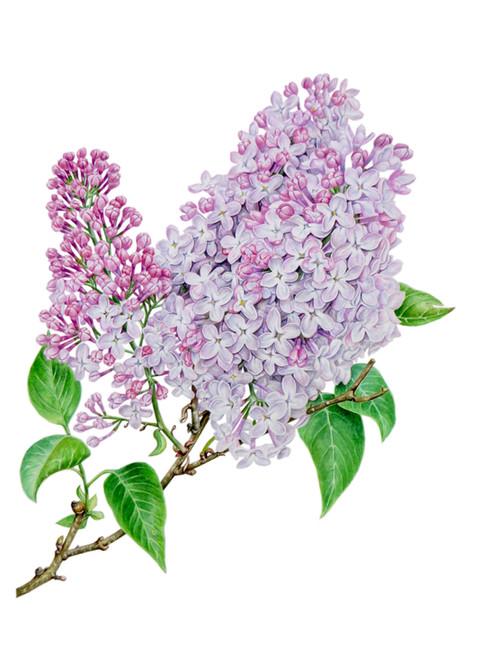 Common Lilac 'Syringa Vulgaris'