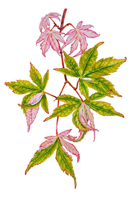 Japnese Maple 'Acer Palmatum'