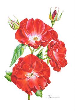 Rosa 'Crimson Conquest'