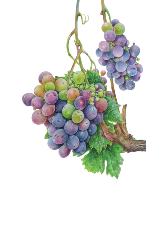 Grape vine 'Vitis vinifera'