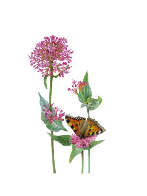 Valerian 'Valeriana officinalis'