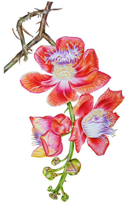 Cannon ball flower 'Couroupita Guianensis'
