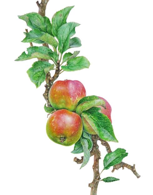 Apple malus domestica ' Ross Non Pareil'