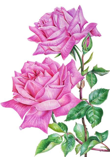 Rose 'Grandiflora'