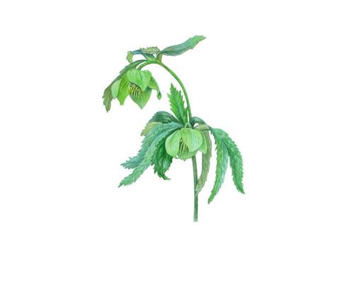 Hellebore 'Helleborus Viridis'