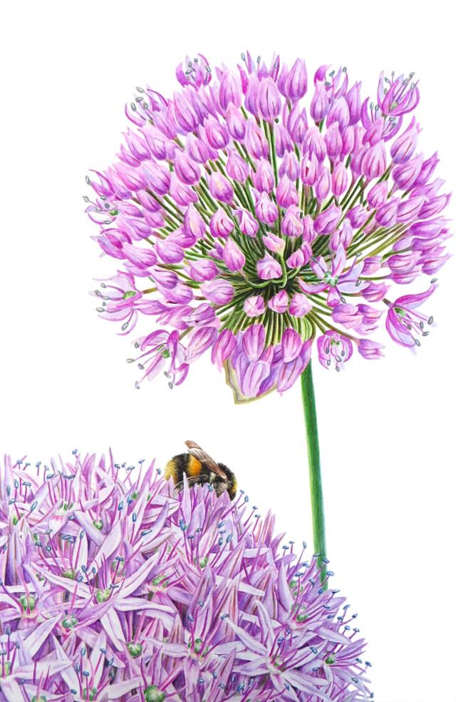 Allium 'aflatunense'