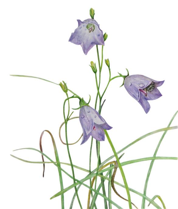 Harebell 'Campanula rotandifolia'