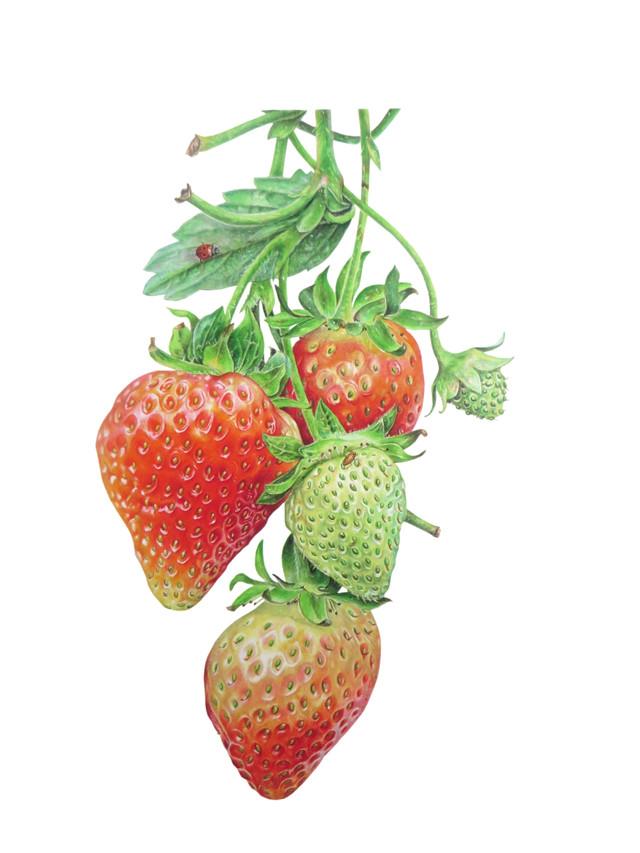 "Strawberry ""Fragaria x ananassa"""