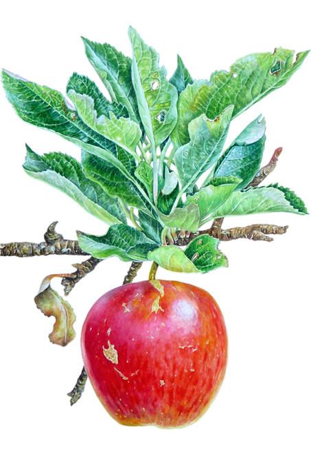 'Red Apple' Malus Domestica