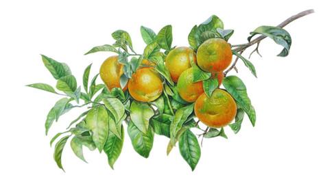 Orange 'Citrus sinensis'