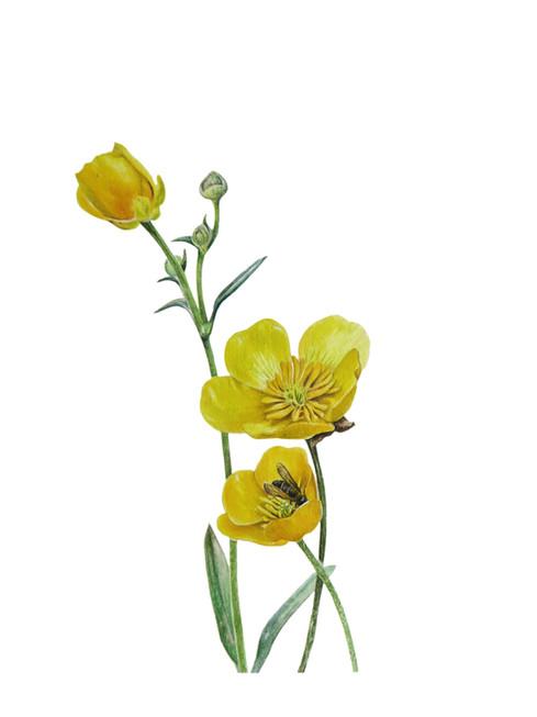 Meadow buttercups 'Ranunculus acris'
