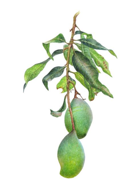 Mango 'Mangifera indica'