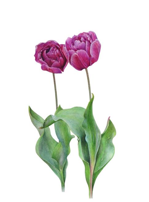 Tulip 'Purple Prince'