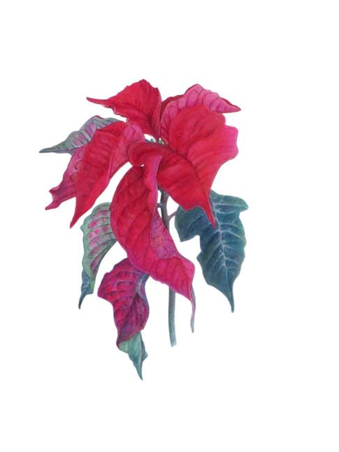 Poinsettia
