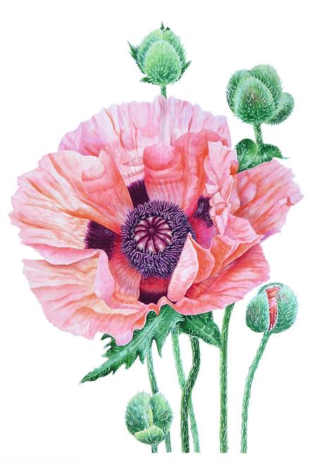 Poppy 'Papaver Orientale'