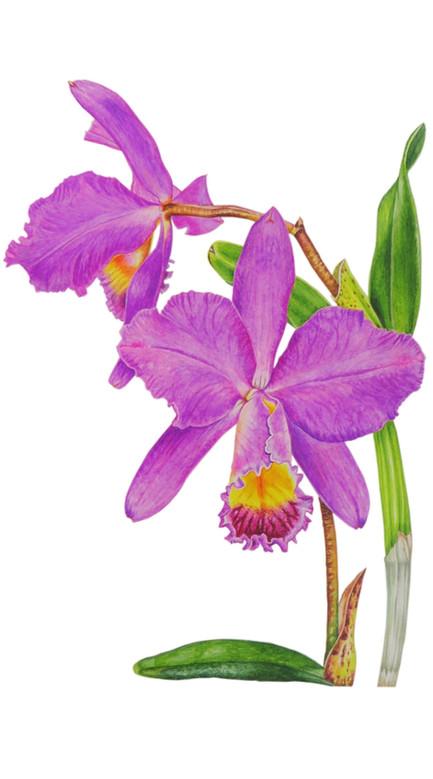 Orchid 'Laelio Cattleya'